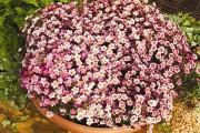 Фото 24 Цветы алиссум : всё, что нужно знать о посадке, выращивании и уходе 50+ фото