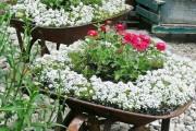 Фото 12 Цветы алиссум : всё, что нужно знать о посадке, выращивании и уходе 50+ фото