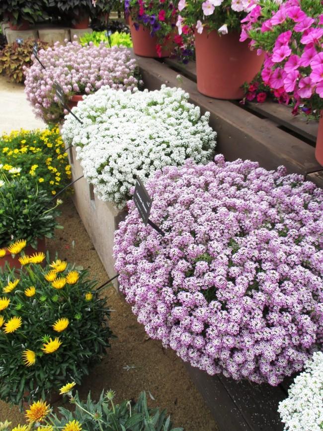 Шикарные пышные кусты разных расцветок