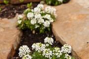 Фото 7 Цветы алиссум : всё, что нужно знать о посадке, выращивании и уходе 50+ фото