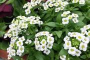 Фото 25 Цветы алиссум : всё, что нужно знать о посадке, выращивании и уходе 50+ фото