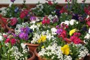 Фото 17 Цветы алиссум : всё, что нужно знать о посадке, выращивании и уходе 50+ фото