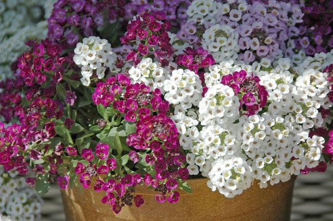 Удивительно нежное, но достаточно жизнестойкое растение для душистого сада