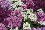 Фото 13 Цветы алиссум : всё, что нужно знать о посадке, выращивании и уходе 50+ фото