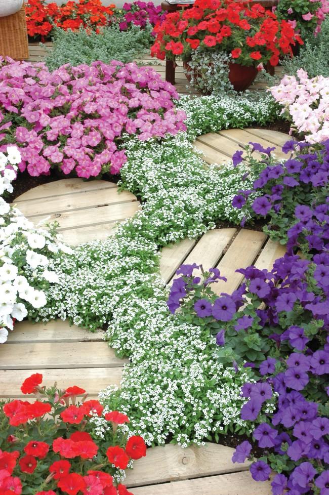 """Сорт """"Снежный ковер"""" прекрасно смотрится с другими цветами"""