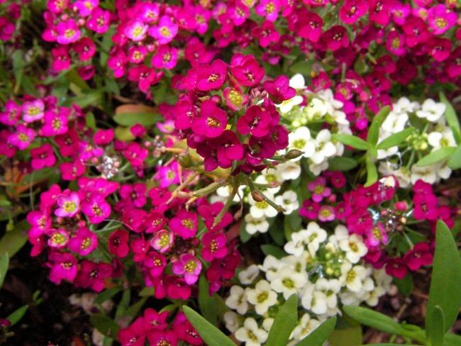 Благодаря цветовому разнообразию алиссум очень популярен среди садоводов и ландшафтных дизайнеров
