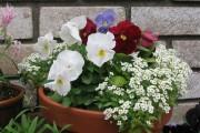 Фото 19 Цветы алиссум : всё, что нужно знать о посадке, выращивании и уходе 50+ фото