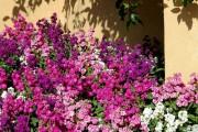 Фото 2 Цветы алиссум : всё, что нужно знать о посадке, выращивании и уходе 50+ фото