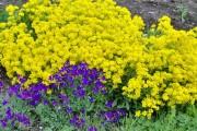 Фото 22 Цветы алиссум : всё, что нужно знать о посадке, выращивании и уходе 50+ фото