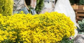 Цветы алиссум : всё, что нужно знать о посадке, выращивании и уходе 50+ фото фото