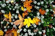 Фото 5 Цветы алиссум : всё, что нужно знать о посадке, выращивании и уходе 50+ фото