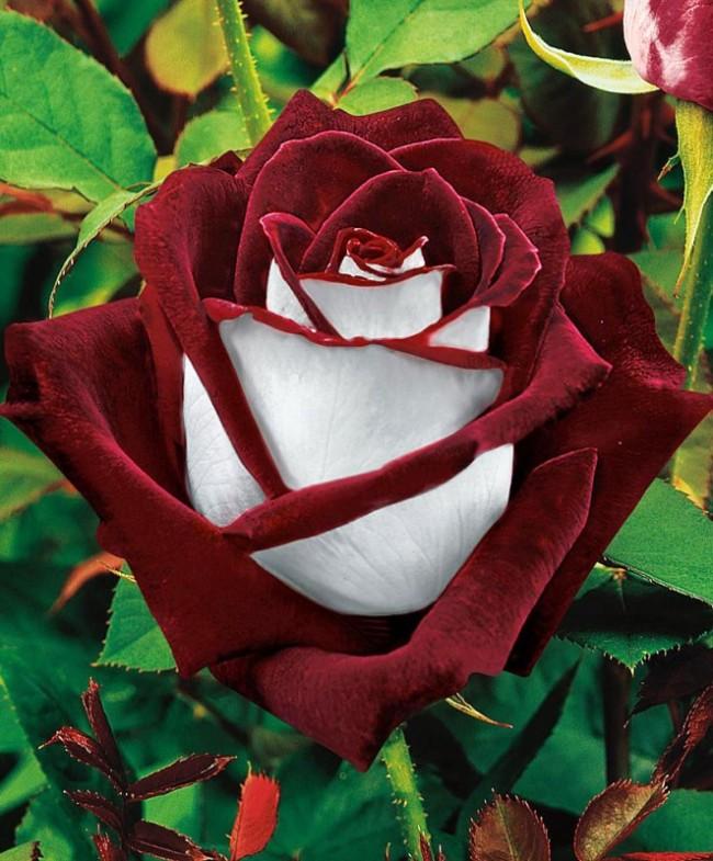 """Великолепная двухцветная роза """"Osiria"""""""