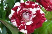 Фото 2 Как вырастить розу дома: все секреты от опытных цветоводов