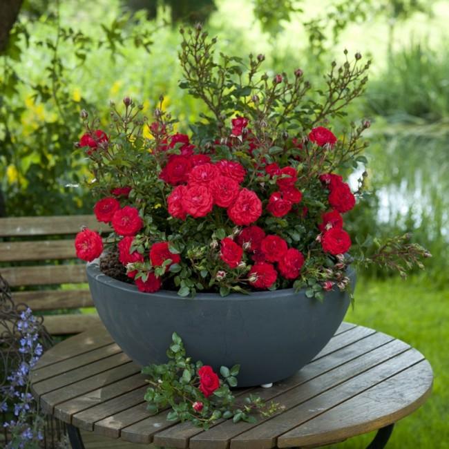 Миниатюрная красная роза Dwarf Polyantha
