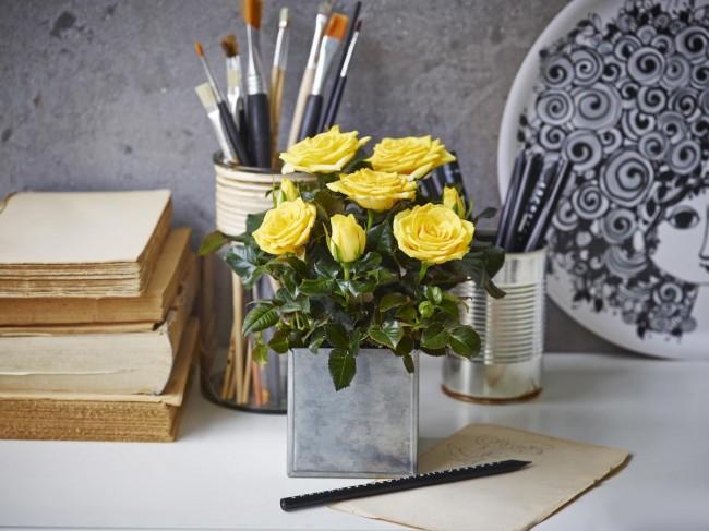 Каждый ваш взгляд на такую розу, выращенную своими руками дома – это поднятое настроение