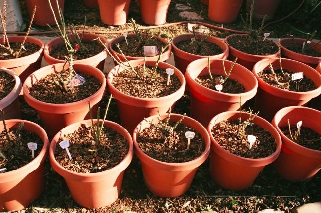 После укрепления стеблей розы необходимо пересадить в горшки