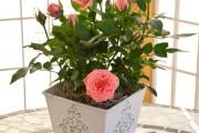 Фото 12 Как вырастить розу дома: все секреты от опытных цветоводов