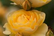 Фото 17 Как вырастить розу дома: все секреты от опытных цветоводов