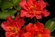 Фото 11 Как вырастить розу дома: все секреты от опытных цветоводов