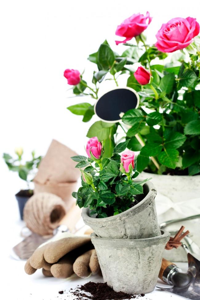 Уход за домашними розами значительно отличается от ухода за садовыми