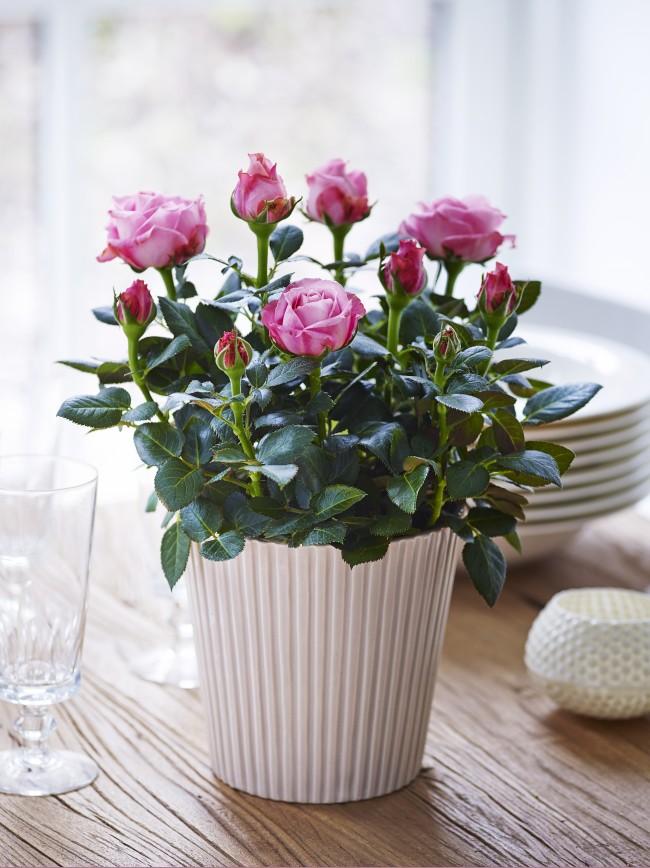 Комнатная роза станет великолепным элементом декора вашего интерьера