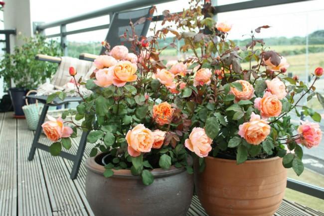 Роза - совершенный цветок, замечательно дополняющий коллекцию домашних растений