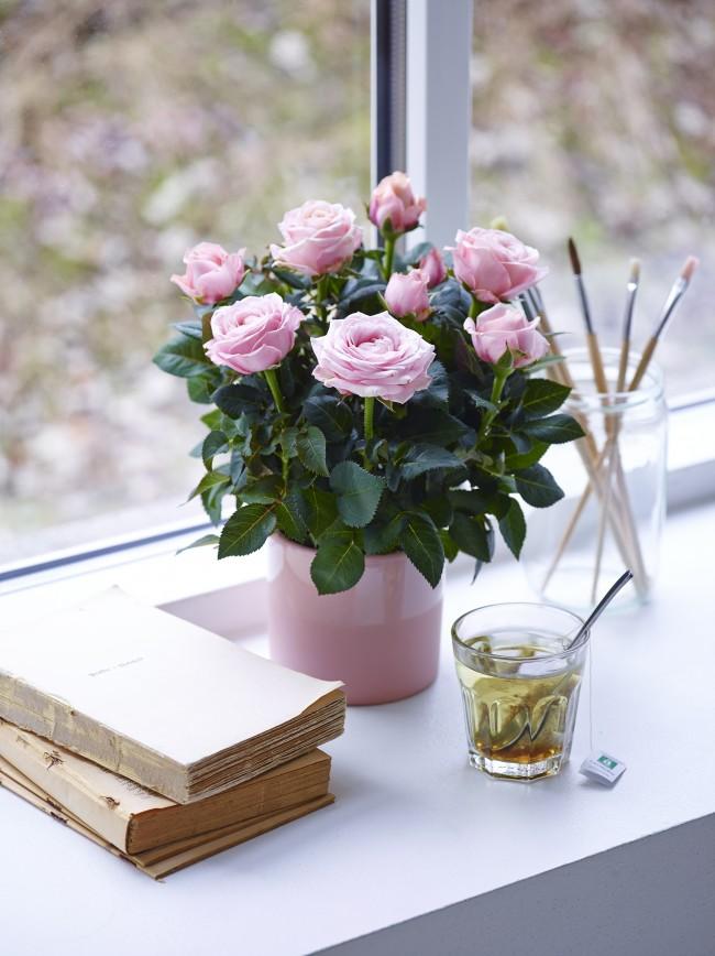 Нежно-розовая красавица будет великолепно смотреться на подоконнике