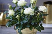 Фото 20 Как вырастить розу дома: все секреты от опытных цветоводов
