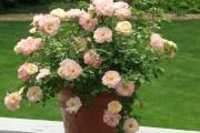 Фото 18 Как вырастить розу дома: все секреты от опытных цветоводов