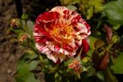 Фото 21 Как вырастить розу дома: все секреты от опытных цветоводов
