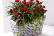 Фото 22 Как вырастить розу дома: все секреты от опытных цветоводов