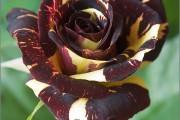 Фото 23 Как вырастить розу дома: все секреты от опытных цветоводов