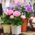 Как вырастить розу дома: все секреты от опытных цветоводов фото