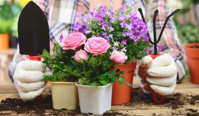 Вырастить розы в домашних условиях сразу сможет далеко не каждый, здесь нужны специальные знания