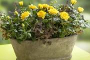 Фото 24 Как вырастить розу дома: все секреты от опытных цветоводов