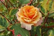 Фото 6 Как вырастить розу дома: все секреты от опытных цветоводов