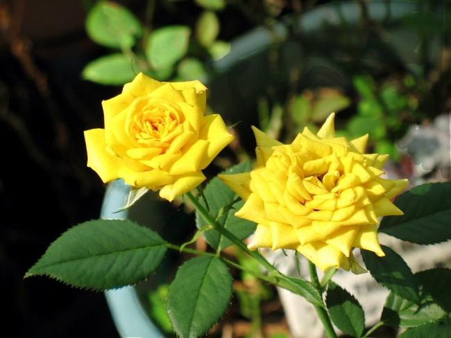 Желтые розы, выращенные дома