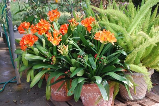 Сок кливии, как и ряд других цветов из семейства Амариллисовые, содержит алкалоид ликорин