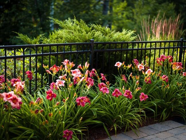 Лилейники – очень красивые, и вместе с этим сравнительно неприхотливые цветы. Лучше всего чувствуют себя при умеренном освещении