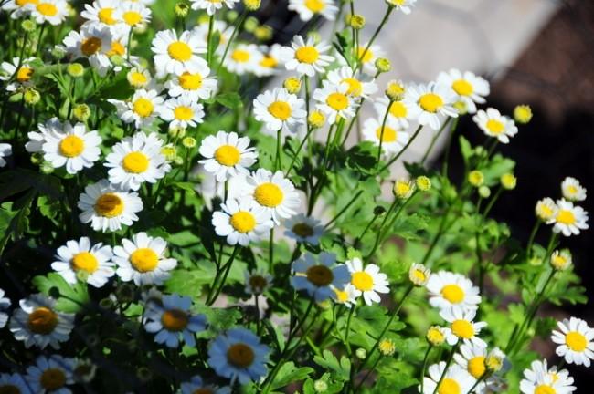 Садовая ромашка – многолетник, цветущий от июня до самых заморозков