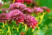 Фото 22 Осенние цветы в саду (65 фото с названиями): как превратить ваш сад в райский уголок