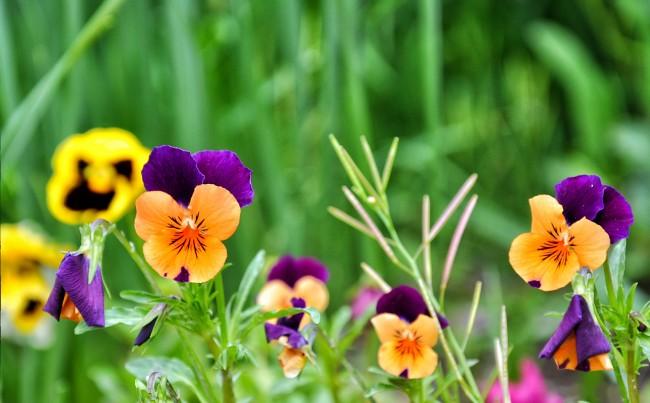 Анютины глазки – изящные осенние цветы