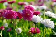 Фото 18 Осенние цветы в саду (65 фото с названиями): как превратить ваш сад в райский уголок