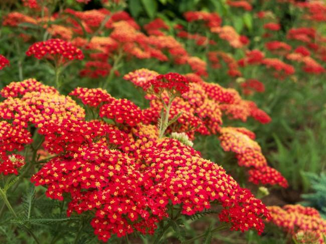 Полевые растения с красными цветами фото и названия