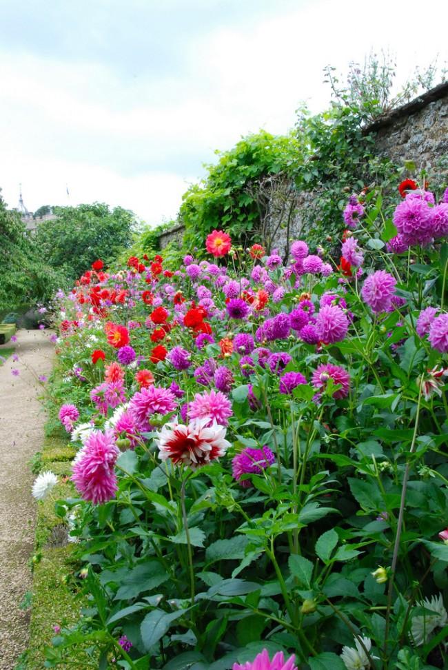 Расцветают георгины в сентябре и украшают сад до первых заморозков