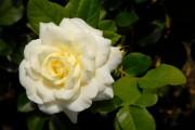Фото 7 Парковые розы (50 фото): аристократизм и ностальгическая изысканность вашего сада