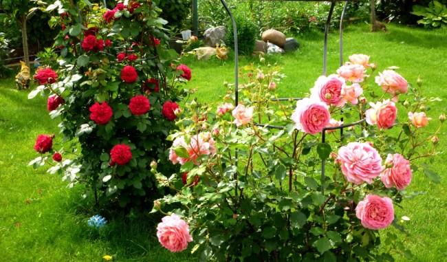 Ежегодная формирующая обрезка куста - одна из главных особенностей в уходе за парковой розой