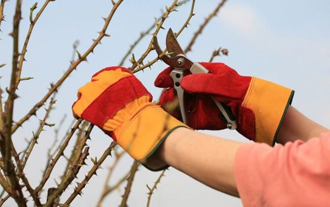 Первые три года у саженца парковой розы идет формирование основных стеблей и корневой системы
