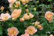 Фото 2 Парковые розы (50 фото): аристократизм и ностальгическая изысканность вашего сада