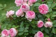Фото 21 Парковые розы (50 фото): аристократизм и ностальгическая изысканность вашего сада